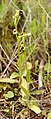 Ophrys bombyliflora (habitus).jpg