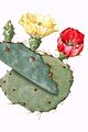 Opuntia19 filtered.jpg