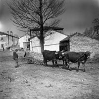 Orač na poti na njivo, Hrušica 1955.jpg