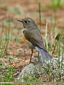 Orange-flanked Bush Robin (Tarsiger cyanurus) (37093834643).jpg