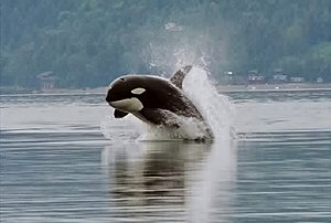Hood Canal - An orca, or killer whale, porpoising in the canal