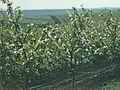 Orchards of Moldova (1980). (27204467173).jpg