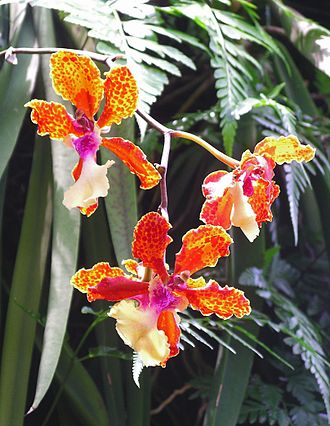 Tourism in Singapore - Orchids at the Singapore Botanic Gardens