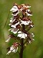 Orchis purpurea (inflorescence).jpg