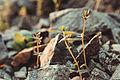 Ordubad daglar cicekler svln4821 dag bitkileri 05.jpg