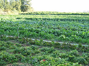 Organic farming - Organic cultivation of mixed vegetables in Capay, California