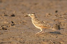 Oriental Skylark by David Raju (cropped).jpg