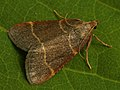 Orthopygia glaucinalis (40511436594).jpg