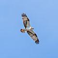 Osprey June 2014 IMG 9952.jpg