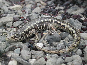 Description de l'image Otago skink.jpg.
