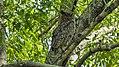 Owl (31239475235).jpg