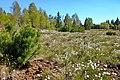 Přírodní památka Pernink suchopýr květen 2020 (2).jpg