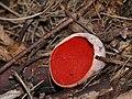 P1140361 Sarcoscypha austriaca.jpg