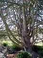 P1320137 Angers arboretum GA arbre xxxx rwk.jpg