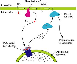 Diglyceride - PIP2 cleavage to IP3 and DAG initiates intracellular calcium release and PKC activation. Note: PLC is not an intermediate like the image may confuse, it actually catalyzes the IP3/DAG separation