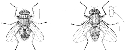 PSM V58 D264 Muscina stabulans and phorria cinerella.png