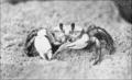 PSM V76 D412 Ghost crab ocypoda arenaria.png