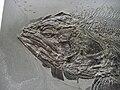 Pachycormus bollensis 1.JPG