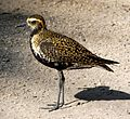 Pacific Golden Plover, Kona Village, Hawaii.jpg