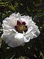 Paeonia suffruticosa (2020-05-13, Koziatyn, Ukraine).jpg