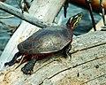 Painted Turtle (15681127130).jpg