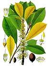 Palaquium treubii - Köhler–s Medizinal-Pflanzen-100.jpg