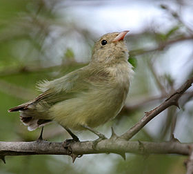 Pale-billed Flowerpecker (Dicaeum erythrorhynchos) preening in Hyderabad, AP W IMG 7326.jpg