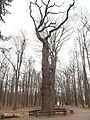 Památný dub letní u hájovny v Čimickém háji (3).jpg