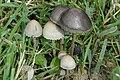 Panaeolus.papilionaceus3.-.lindsey.jpg