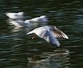 Panning of a gull (8314205923).jpg