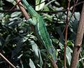 Panther chameleon - Zoo de Vincennes.jpg