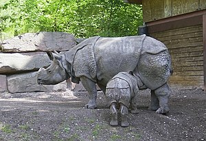 Javan rhinoceros - The Indian rhinoceros pictured here is the species most closely related to the Javan rhinoceros; they are the two members of the type genus Rhinoceros.