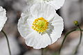 Papaver alpinum subsp. alpinum - Steiermark.jpg
