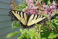Papilio glaucus in NH 02.jpg