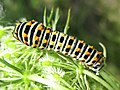 Papilio machaon (Papilionidae) (Swallowtail) - (caterpillar), Arnhem, the Netherlands.jpg