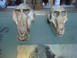 Olive baboon - Skull of a male (left) and female (right)