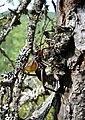 Paracyphoderris erebeus male stridulation02.jpg