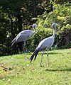 Paradieskranich Anthropoides paradisea Tierpark Hellabrunn-17.jpg