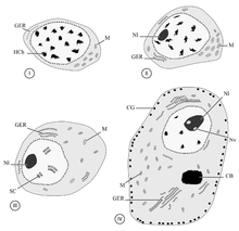 Oogenesis wikipedia diagram of oogenesis in a digenean platyhelminthes ccuart Choice Image
