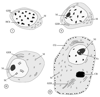 Oogenesis - Diagram of oogenesis in a digenean (Platyhelminthes)