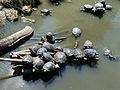 Parc animalier de Sainte-Croix-Cistudes d'Europe.jpg