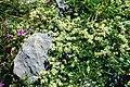 Paronychia kapela ssp serpyllifolia 4 - Pyrenees.jpg