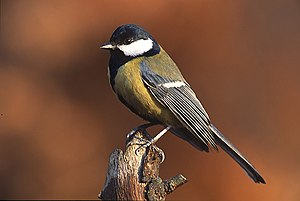 The Great Tit, a passerine bird, employs both ...