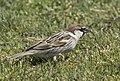 Passer hispaniolensis - Spanish Sparrow 01.jpg