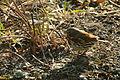 Passerella iliaca, Schaumburg, Illinois 2.jpg