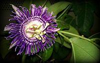 Passiflora Krishnakamal Karnataka India.jpg