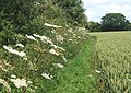 Path between hedge and wheat field - geograph.org.uk - 863749.jpg