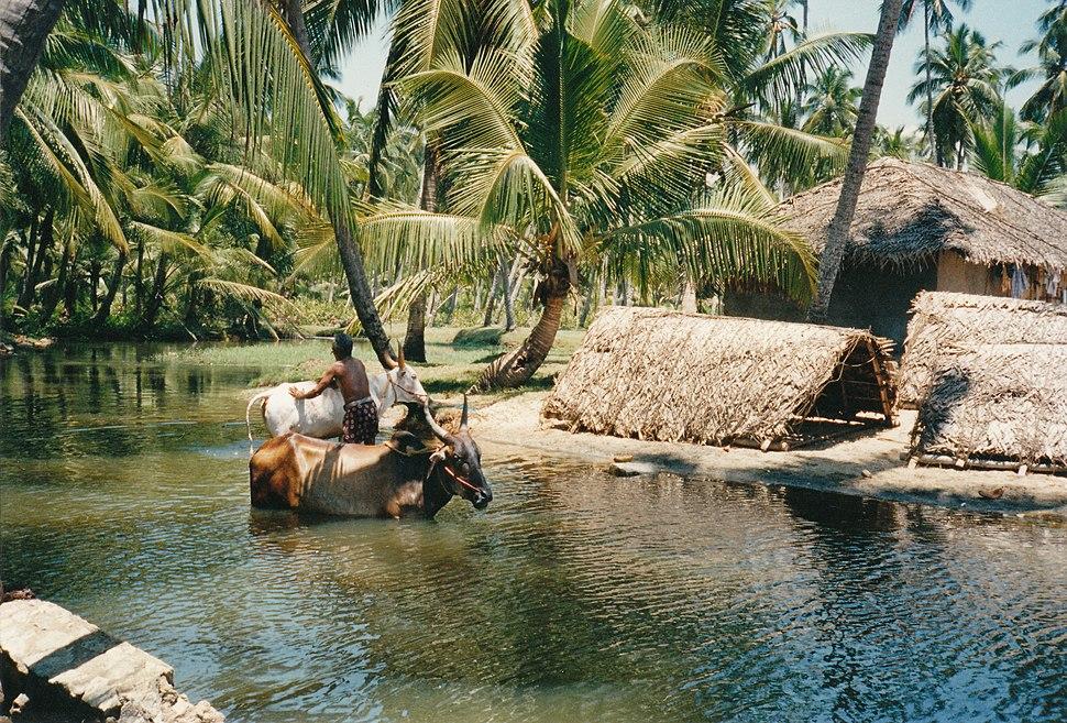 Paysan soignant ses boeufs (Kerala)