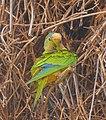 Peach-fronted Parakeet (Eupsittula aurea) preening ... - 48116745043.jpg