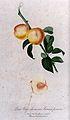 Peach (Prunus species); fruiting branch with halved fruit. C Wellcome V0043145.jpg